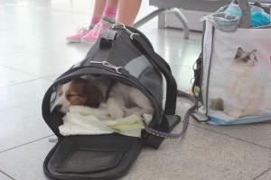 Prinka nukkuu lentokassissa Varsovan kentällä