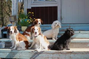 huhtikuun lopussa kävimme ystäväni Maaretin luona Askolassa. Tässä omat ja Maaretin koirat poseeraa portailla auringonpaisteessa.