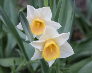 narsissit kukkivat pitkään viileän kevään ansiosta